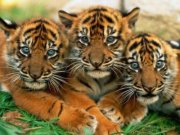 small tigercubs